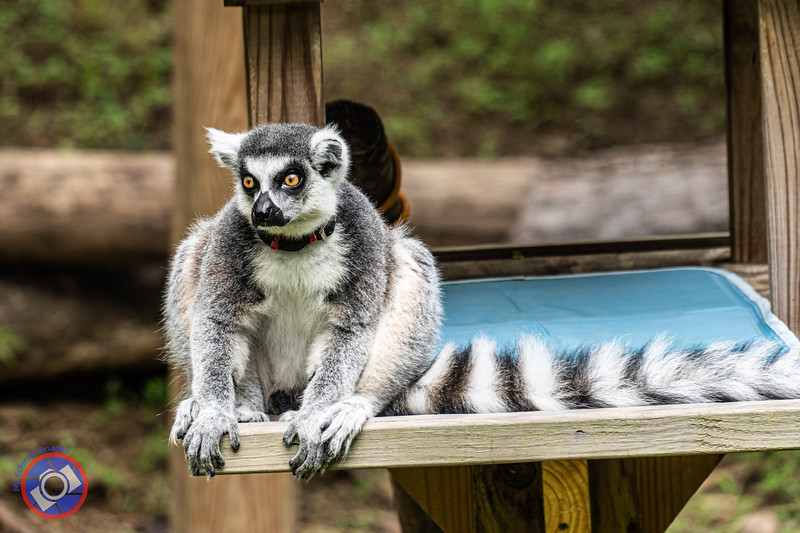 An Alert and Watchful Lemur Studying the Onlookers at the Museum of Life and Science (©simon@myeclecticimages.com)