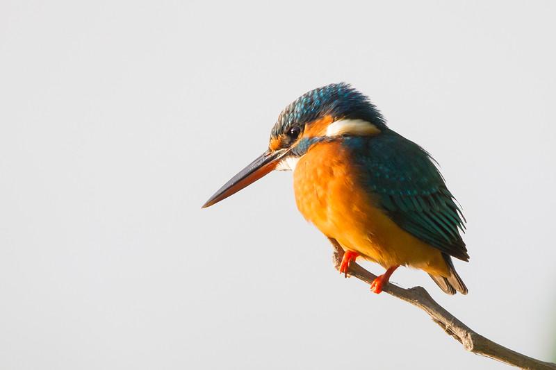 Common Kingfisher - Ambazari garden, Nagpur, India