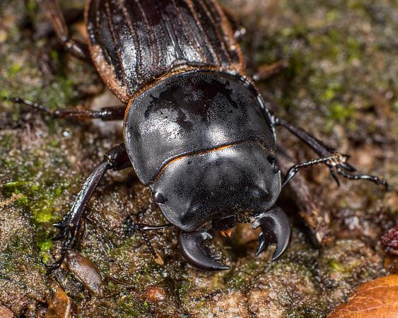 Geodorcus helmsi - Helms's stag beetle
