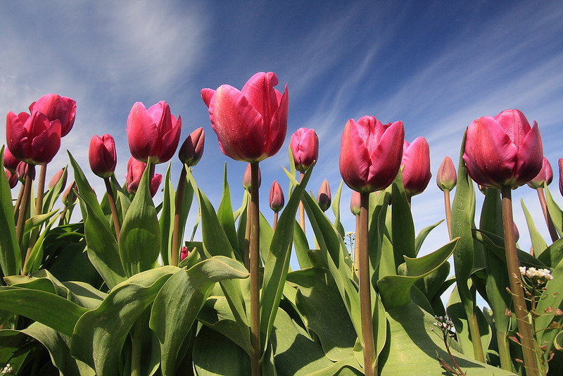 Tulips 08  15.JPG