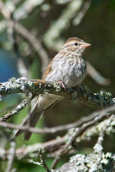 Sparrow - Vesper - Itasca County Road 39, MN