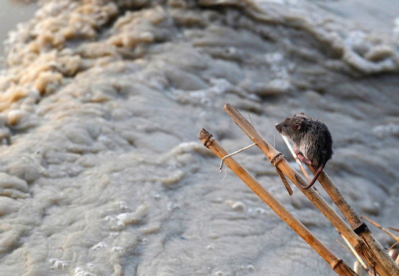 . A  mouse above the rising waters of river Yamuna in New Delhi, India, June 19, 2013. REUTERS/Anindito Mukherjee
