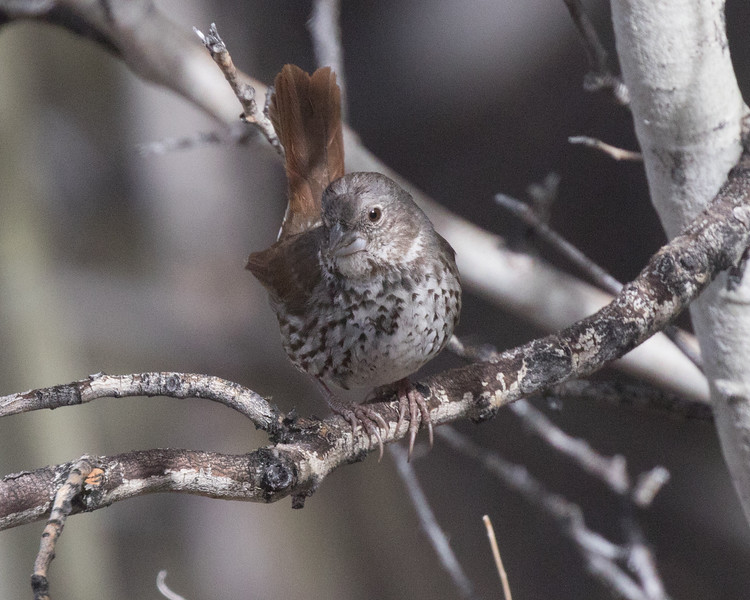 Fox Sparrow (Slate Colored } Wifred  Canyon 2019 05 03-1.CR2