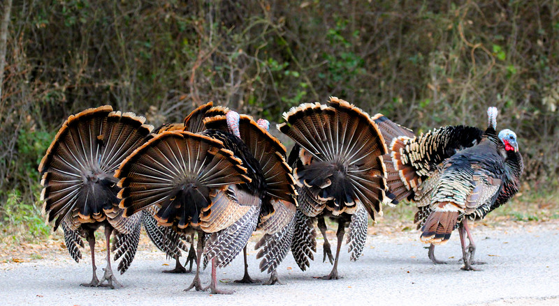 Turkeys IMG_1580.jpg