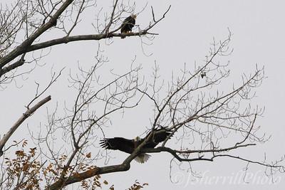 Eagles on the Potomac