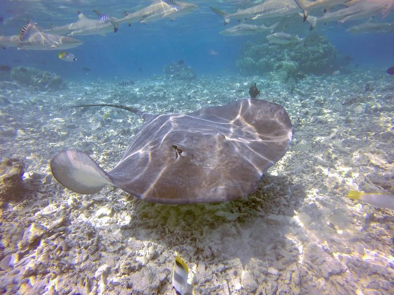 Stingray and blacktip sharks -Raanui Snorkel Trip - Bora Bora