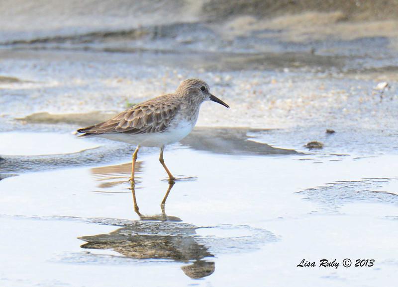 Least Sandpiper - 12/1/13 - La Jolla Cove