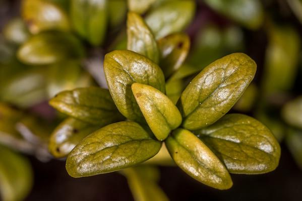 Coprosma pseudocuneata