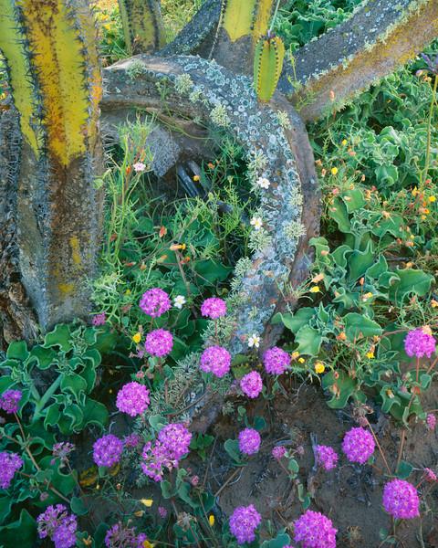 Baja California, Sur,, MEX/Mexico, Vizcaino Desert. Sand verbena (Abronia villosa) amid ice plants (Mesembryanthemum crystallinum) & senita cactus(Lophocereus schottii)295V10
