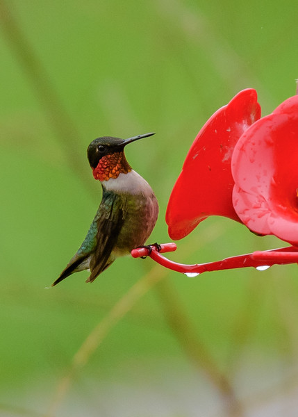 a male Ruby-throated Hummingbird at Falling Springs Bird Sanctuary, French Lick, IN