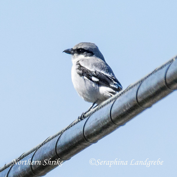 _DSC7968Northern Shrike.jpg