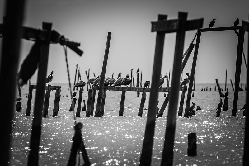 Pelicans BW 123017 (1 of 1).jpg
