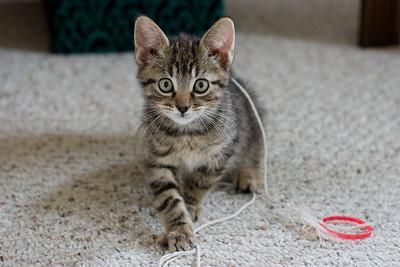 Toby Cat