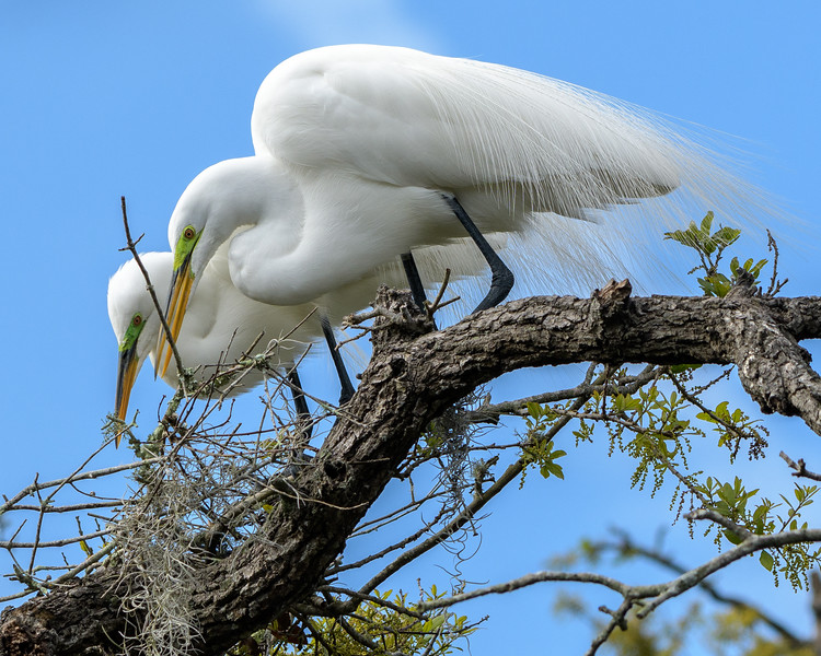 Great Egret - Honey, where should we put this stick?