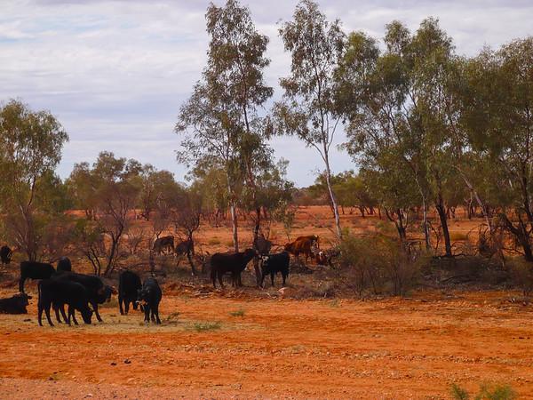 Grazing Cattle near Yulara, Northern Territory, Australia