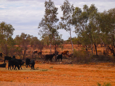 Grazing Cattle near Yulara, Northern Territory, Australia