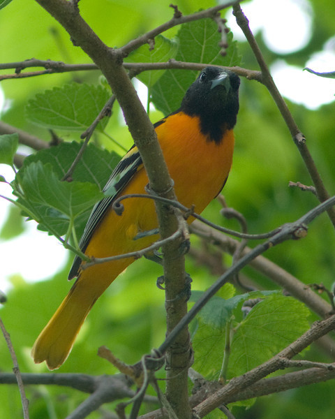 Baltimore Oriole  Male looking on as the female does most of the work!