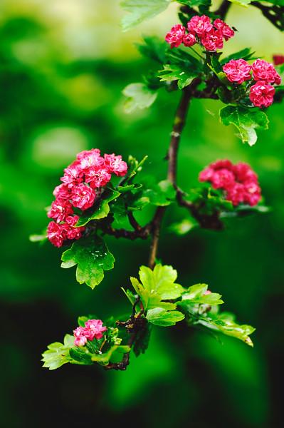 Rose hawthorn.jpg