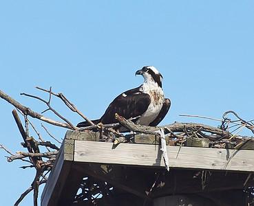 Osprey at Rye Beach