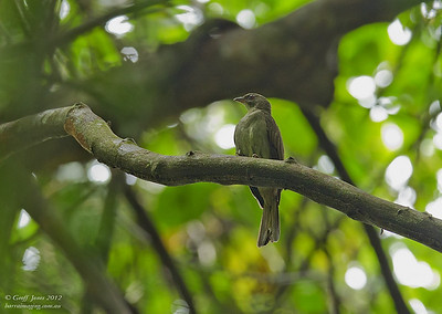 Honeyguides	Family Indicatoridae