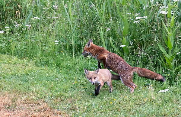 Foxes and Badgers 12th June