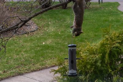 2021 05 06: Squirrel at Home