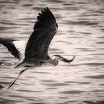 Grey Heron with Fish | Graureiher mit Fisch