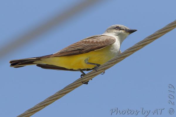 2019-05-16 Chasing Western Kingbirds