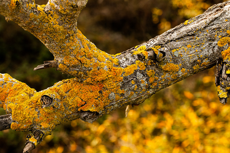 Branch with Lichen, Campbell, California, 2010