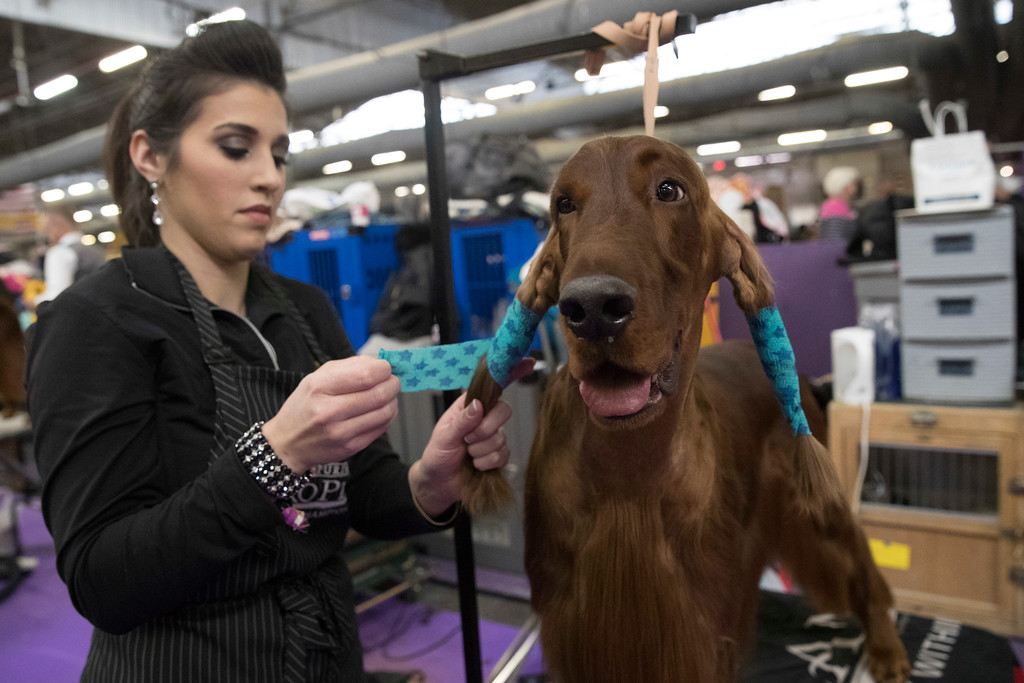 . Ashley Martins, of Toronto, wraps the ears of Henry, an Irish setter, before competing in the 141st Westminster Kennel Club Dog Show, Tuesday, Feb. 14, 2017, in New York. (AP Photo/Mary Altaffer)