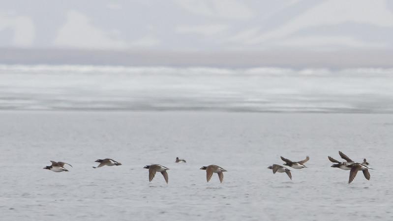 Long-tailed Ducks - Teller, AK, USA