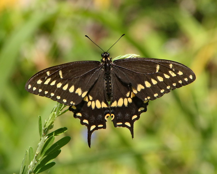 Black Swallowtail, male