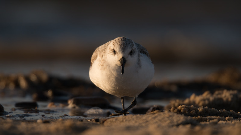 Sanderling, Calidris alba. Egmond aan Zee, The Netherlands.