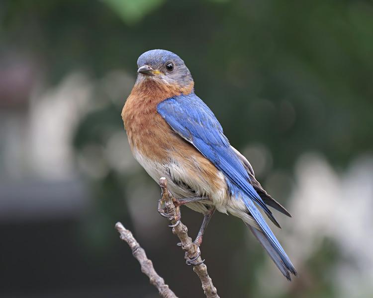 sx50_bluebird_ben_boas_107.jpg