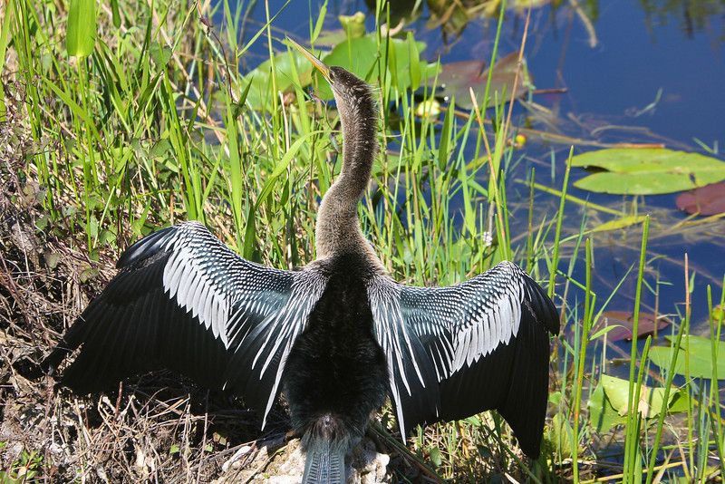 Anhinga in the Everglades Copyright 2012, Tom Farmer