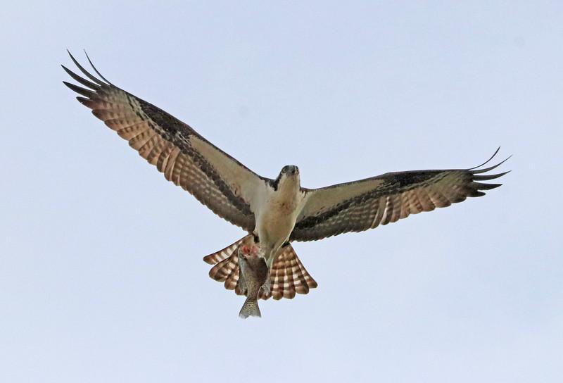 osprey 118.jpg