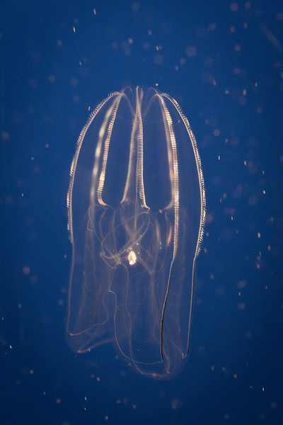"Jellyfish ""Antique"""