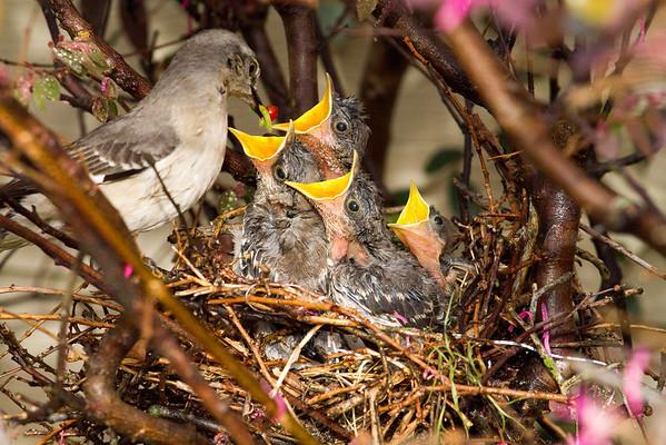 Baby Mockingbirds in nest