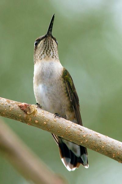 hummingbirdonmulberrytwig2.jpg