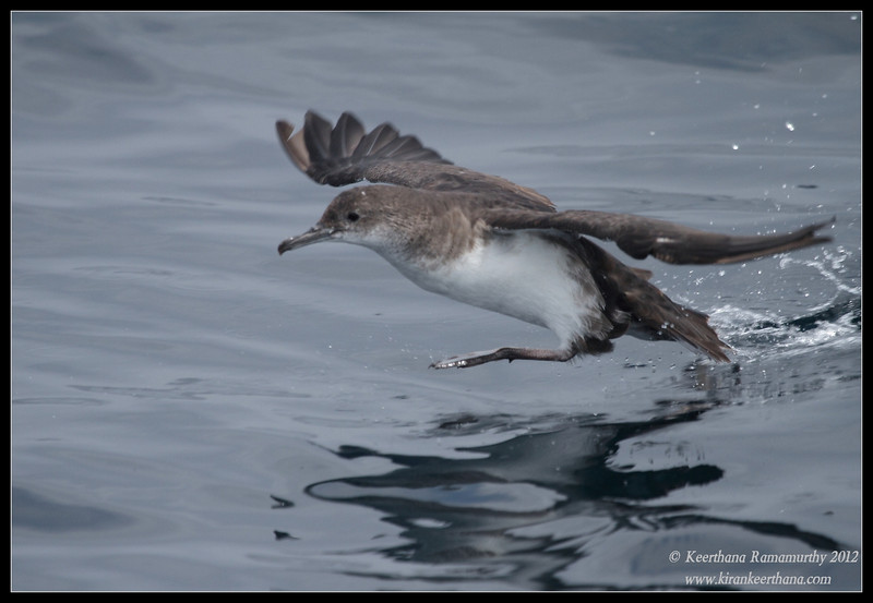 Black-vented Shearwater, Whale-Watching trip, San Diego County, California, September 2012