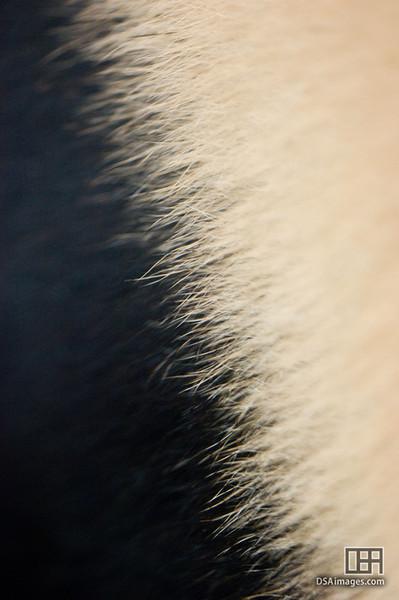 Giant Panda fur