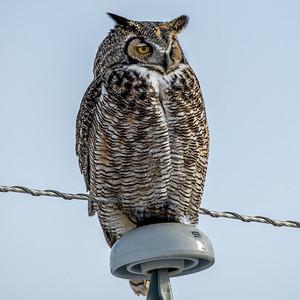 2-12-21 Great Horned Owl