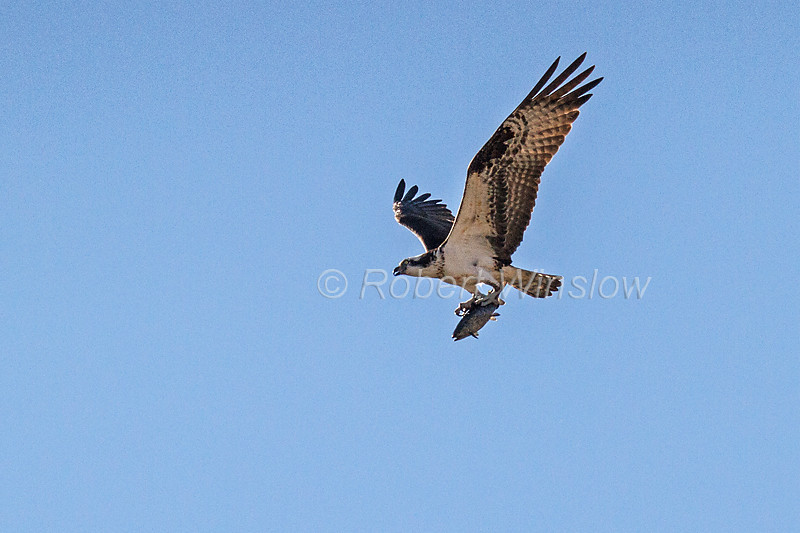 Osprey, Pandion haliaetus, Flying, Fish in its Talons, La Plata County, Colorado, USA, North America
