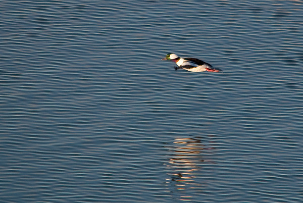 Goldeneyes & Buffleheads