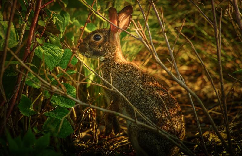 Florida Marsh Rabbit - 10.jpg