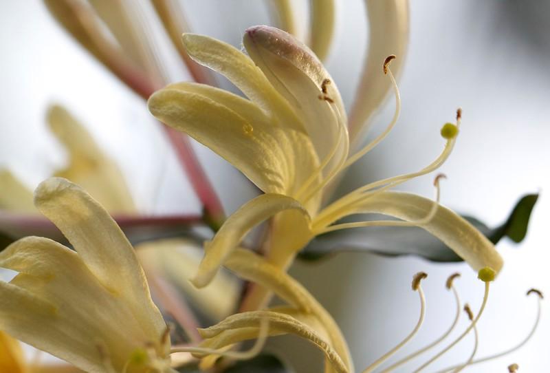 sunlit japanese honeysuckle