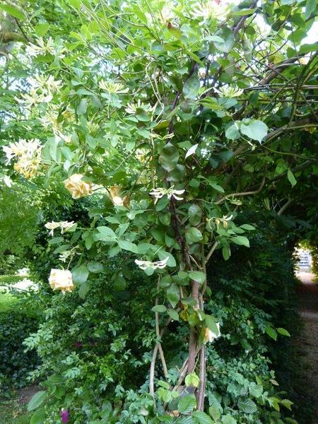 Lonicera etrusca, Lady Hillingdon rose, hornbeam allee, Denham P1140498.jpg