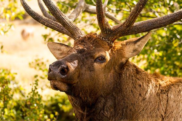Elk Rut - 2015