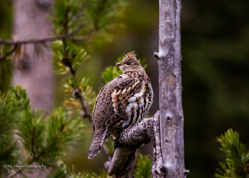 Ruffled Grouse Jackson Hole C656.jpg