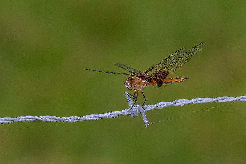 Red Saddlebags - Tramea onusta